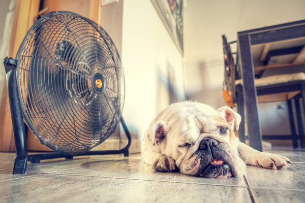 Dog sleeping by fan