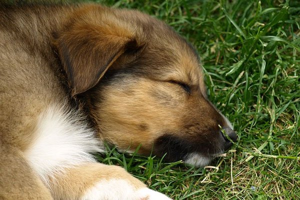 Puppy dog sleeping in the grass