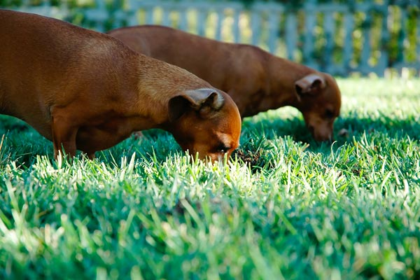 Two dogs eating in the grass