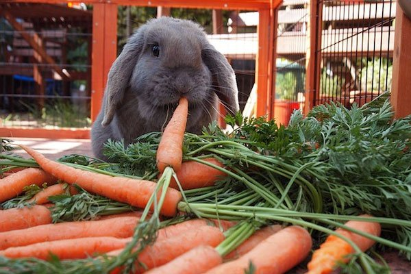 Bunny eating carrots
