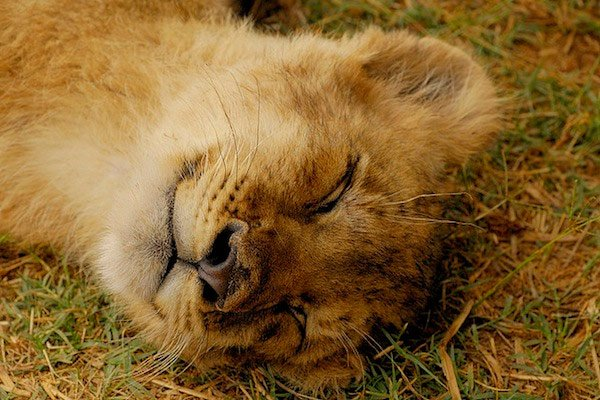 lion sleeping in grass