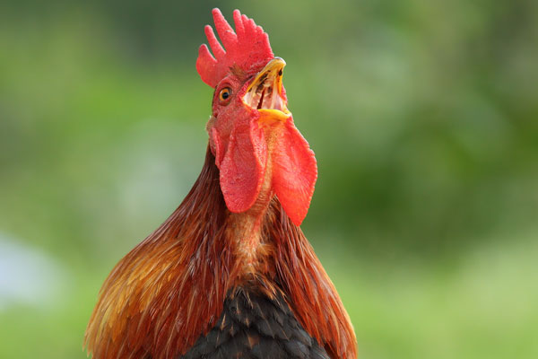 The rooster is one of the original alarm clocks.